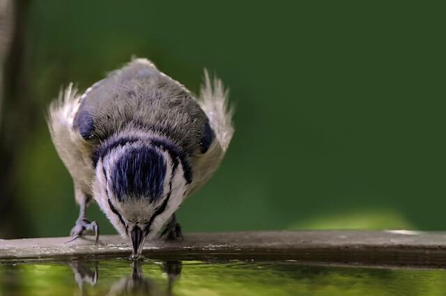 Blaumeise trinkt Wasser an Vogeltränke
